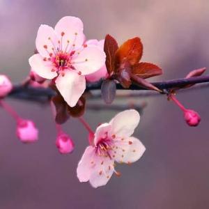 Cherry Blossom Ridiculously Retro